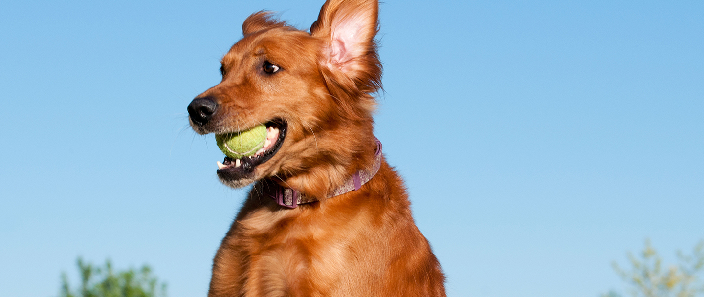 Golden retriever catching tennis ball
